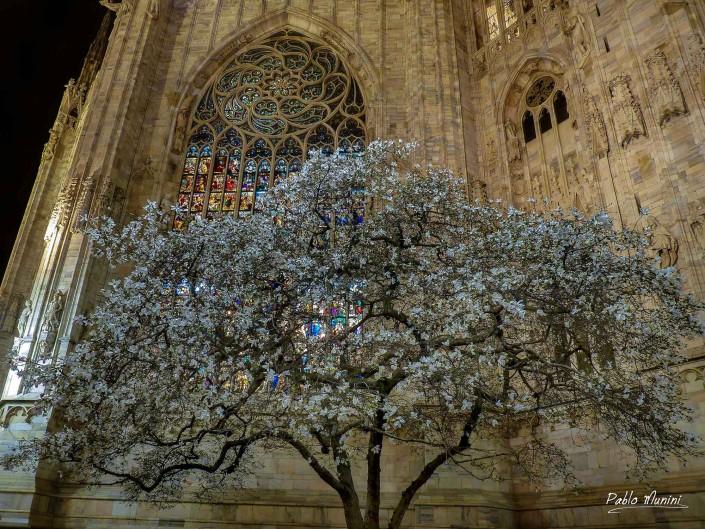 Blossomed magnolia tree at Milano's cathedral apse. Pablo Munini